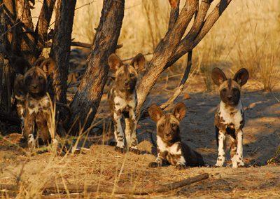 5795e198d1a4c3a579332f4d_wild-dog-pups