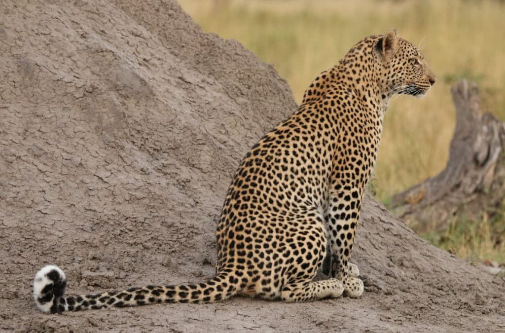 Understanding and manipulating the spatial movements of leopards (Panthera pardus)