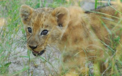 Female lions gave birth to their cubs