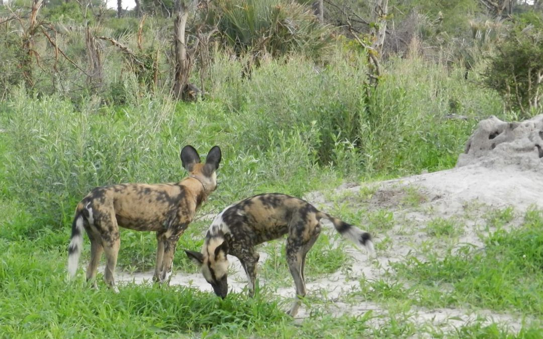 CHANGING OF THE GUARD: DISPERSAL, OLD, AND NEW WILD DOG PACKS