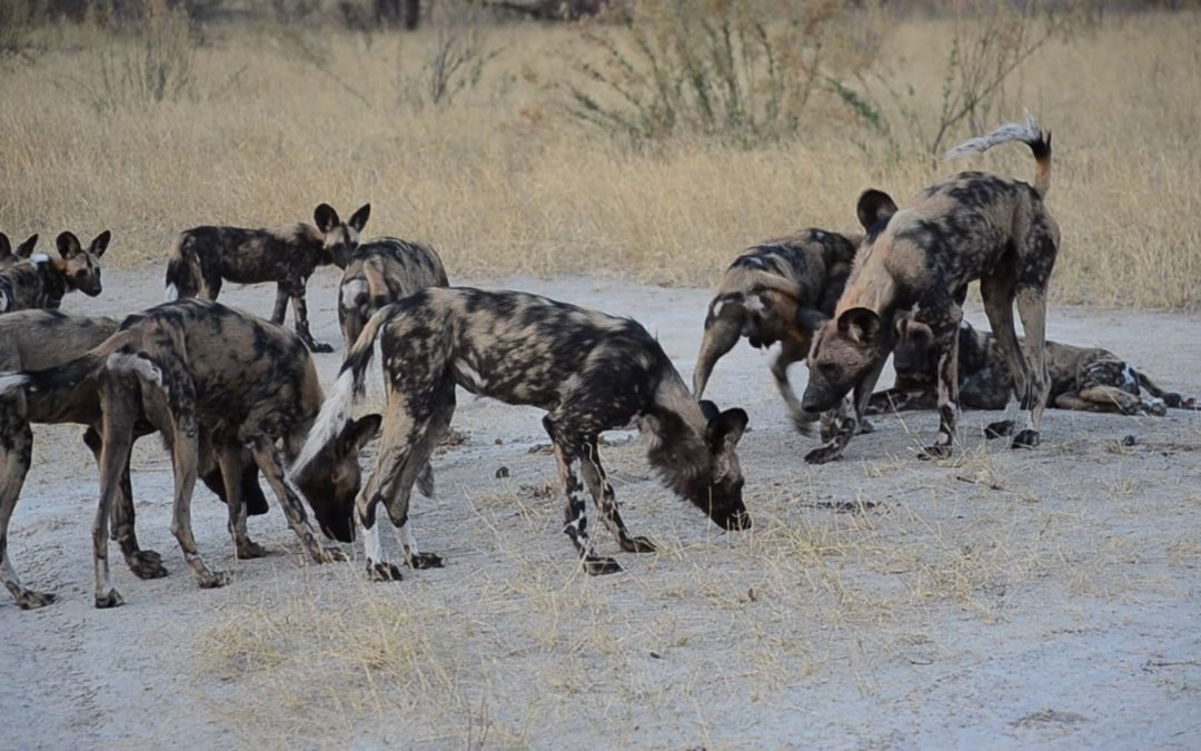 BREAKTHROUGH IN BOTSWANA – SHARED SCENT MARKING SITES ARE THE KEY TO COMMUNICATION BETWEEN AFRICAN WILD DOG PACKS