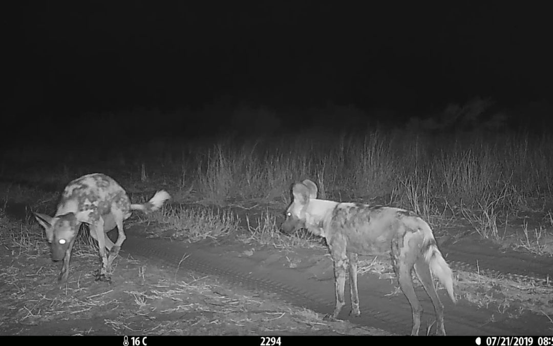 AFRICAN WILD DOGS GO OUT OF THEIR WAY TO VISIT MULTI-PACK SCENT MARKING SITES