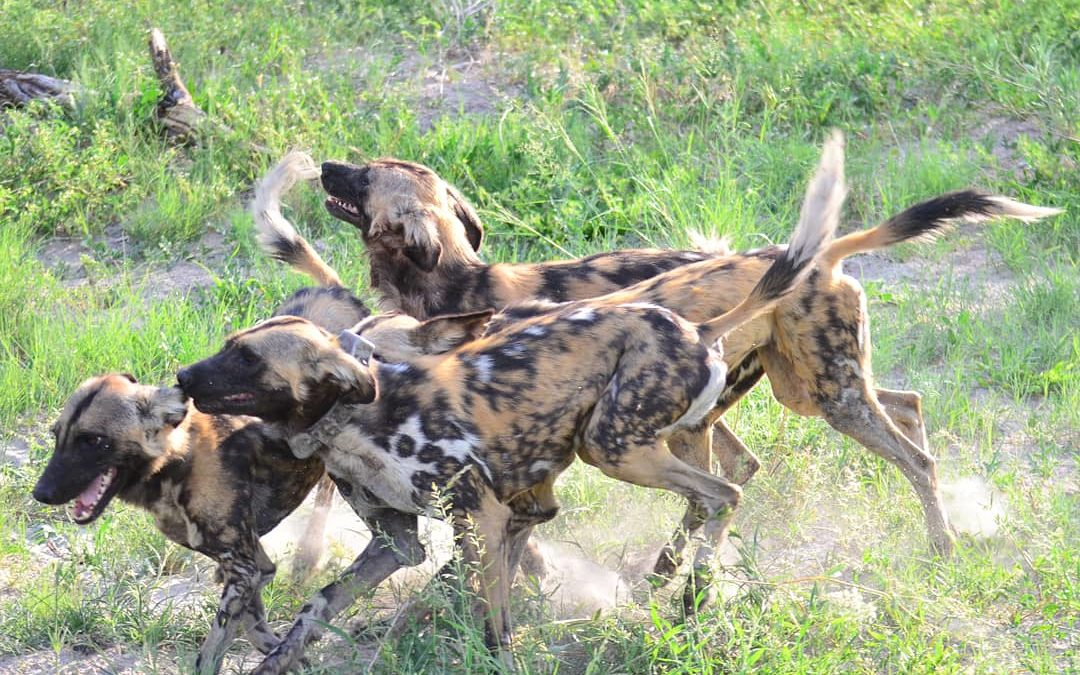 REVEALING THE SECRET LIFE OF WILD DOGS
