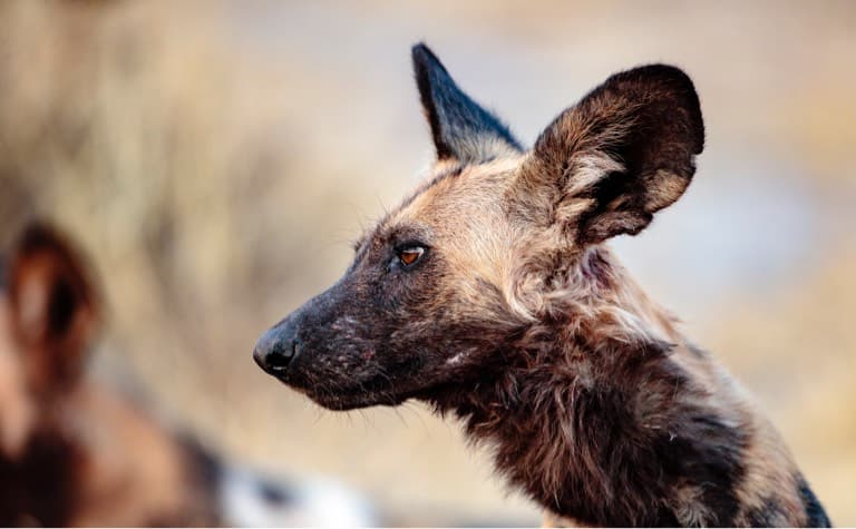 Movement ecology of African wild dogs (Lycaon pictus)