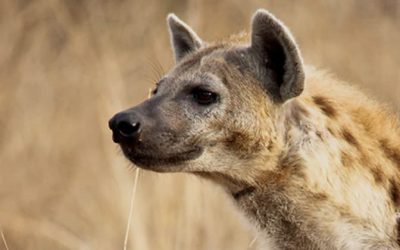 Experimental investigation of interspecific interactions involving spotted hyaenas (Crocuta crocuta)
