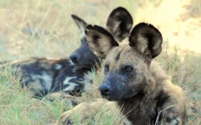 African Wild Dogs make their mark