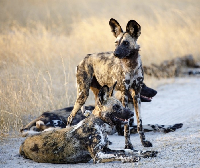 The African Wild Dog: An Ambassador for the World's Largest Transboundary Conservation Area
